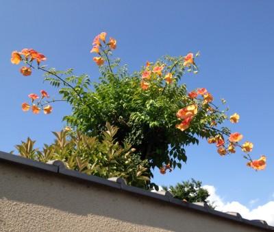 夏の花、ノウゼンカズラ